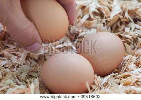 Gathering farm fresh eggs