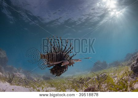 prowling lion fish