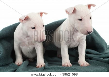 Two White Bull Terrier Puppies Under A Green Blanket