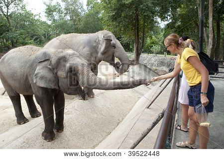 Woman feeding the elephant bananas at the zoo