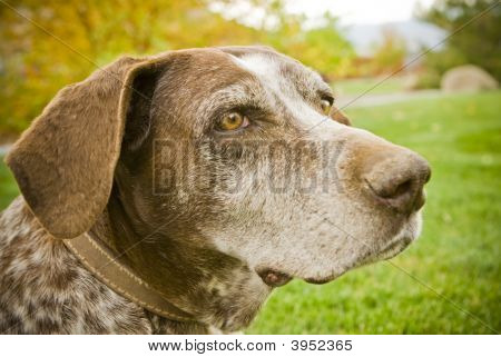 Sweet Old Hunting Dog