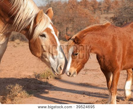 Large Belgian draft horse making friends with a tiny little pony, sniffing noses