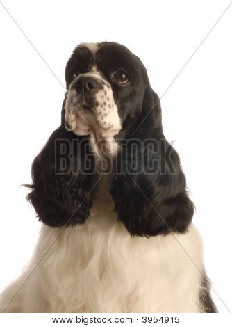 American Cocker Spaniel Parti Color
