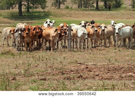 Brahman cow herd on ranch with foreground copyspace