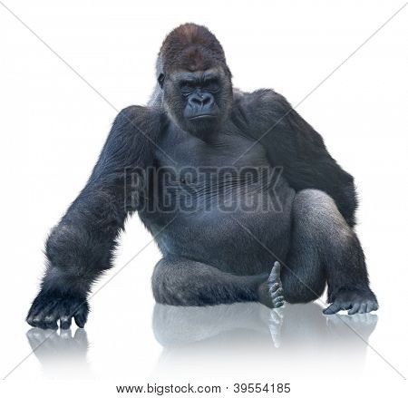 Silverback Gorilla Sitting Isolated On White Background