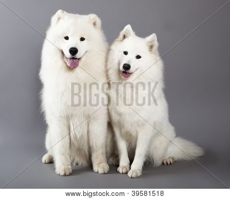 Couple Samoyed dogs