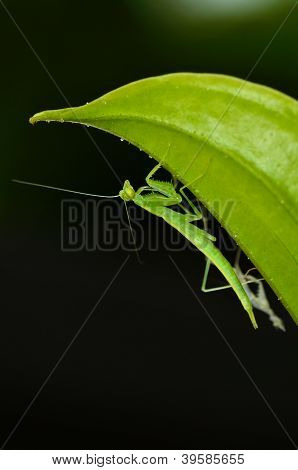 molting praying mantis