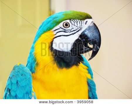 Blue And Yellow Macaw In Front Of A White Background