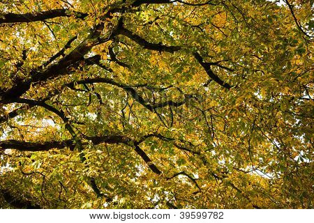 Under The Canopy Of The Chestnut In Autumn