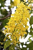 stock photo of vishu  - view of golden shower tree flowers in summer