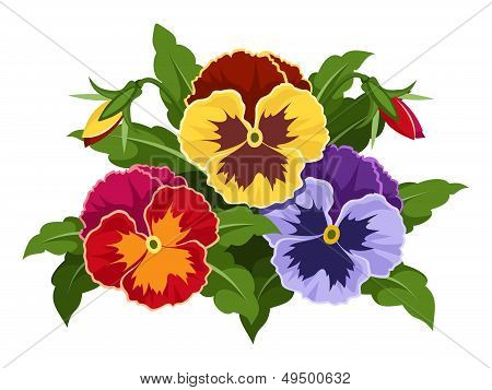 Colorful pansy flowers. Vector illustration.
