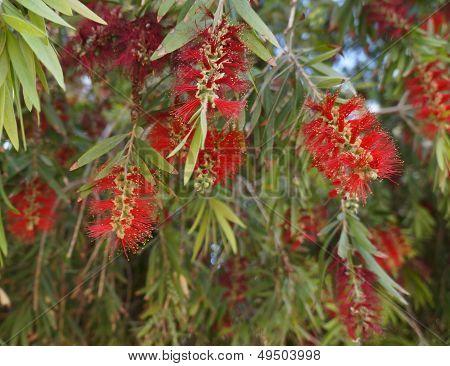 Callistemon blossom
