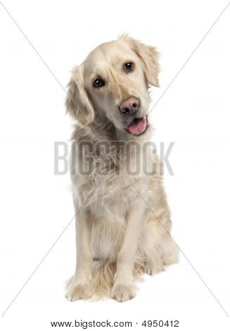 Golden Retriever (5 Years Old)