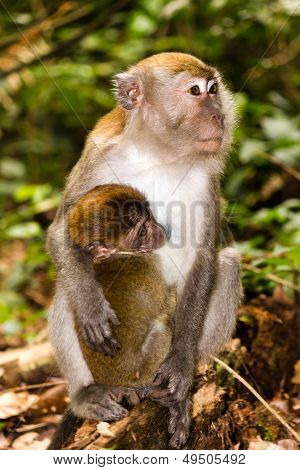 Mother and baby Macaque monkey