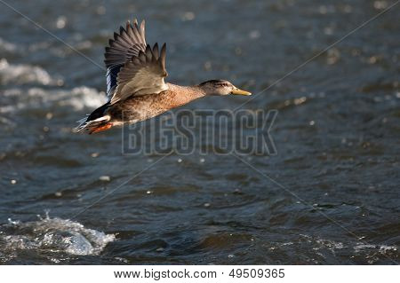 Duck in flight