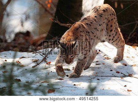 Wild lynx walk on snow in winter