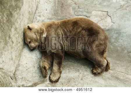 Brown Bear Sleeping At Zoo
