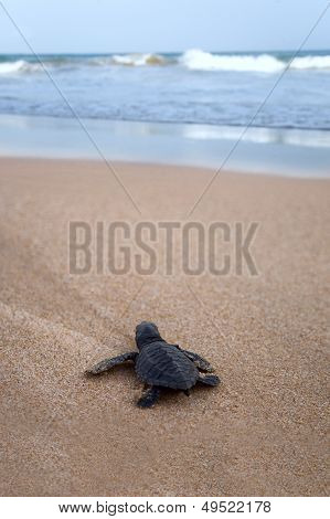 Newly Hatched Baby Loggerhead  Turtle Toward The Ocean