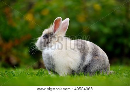 Pretty Grey And White Rabbit On Green Grass