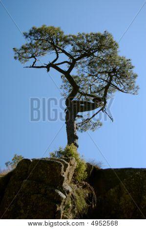European Mediterranean Pine On Rock