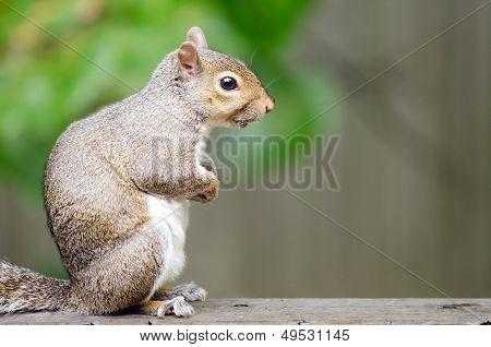 Portrait of eastern gray squirrel (Sciurus carolinensis)