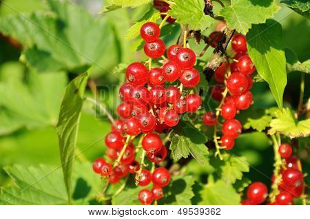 Branch of of ripe redcurrant growing