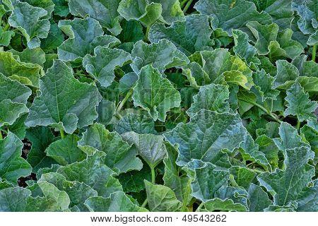 Melon Leaves