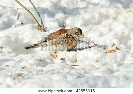 thrush in winter (Turdus Obscurus)