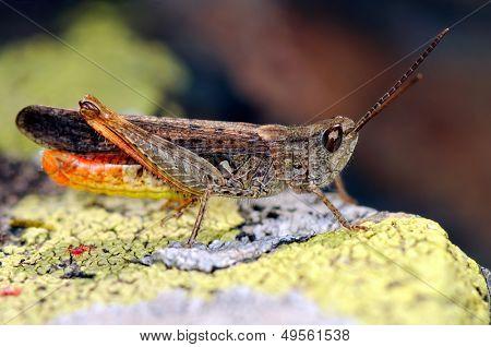 grasshopper outdoor in summer