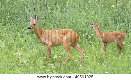 Roe Deer Doe And Fawn In The Grass