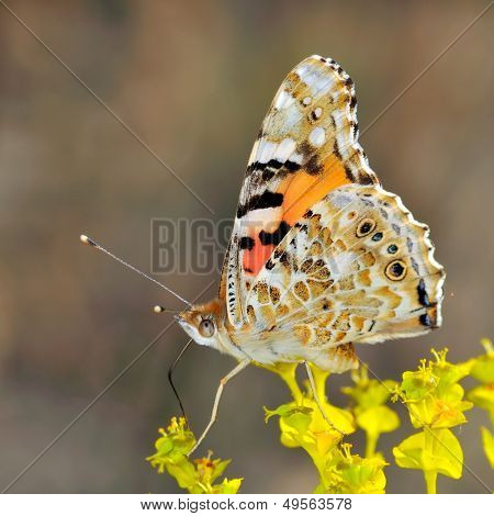 butterfly in natural habitat (vanessa cardui)