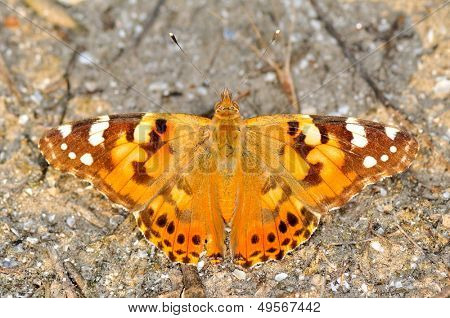 butterfly outdoor (vanessa cardui)