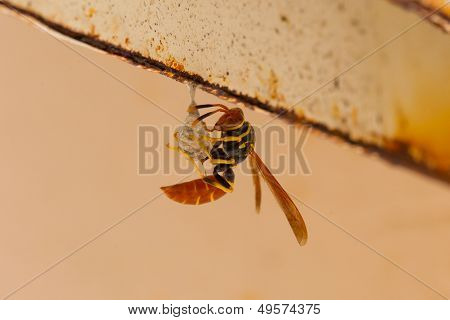 Jack Spaniard Wasp Building A Small Nest