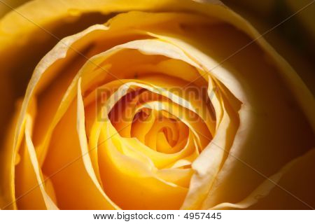 Blooming Golden Rose Petals