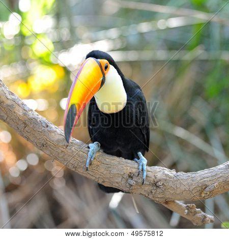 toucan outdoor - Ramphastos toco