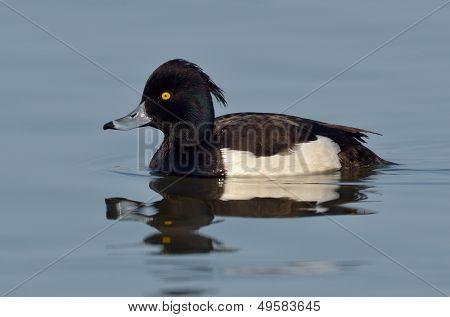duck in natural habitat (aythya fuligula)