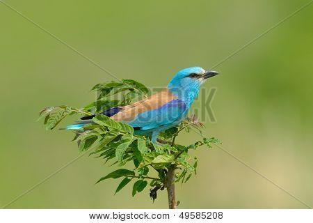 european roller (coracias garrulus) outdoor