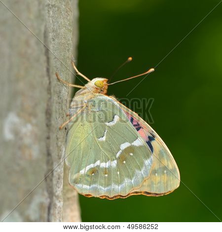 butterfly in natural habitat (argynnis pandora)