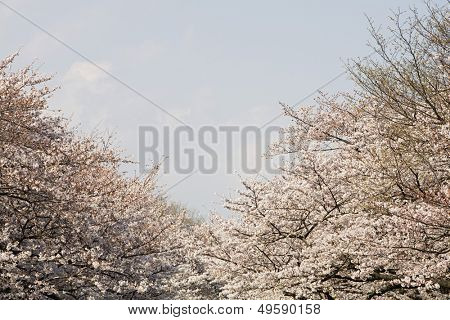 Cherry Trees in Bloom