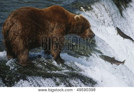 Brown Bear grizzly bear looking at salmon Katmai National Park Alaska USA.