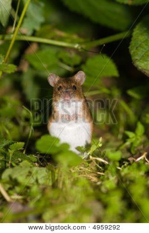 Apodemus Agrarius, Striped Field Mouse