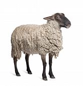Suffolk Sheep - (6 Years Old)