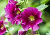 picture of hollyhock  - An image of some pink Hollyhocks against a green Bokeh background - JPG