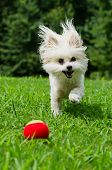 foto of maltipoo  - Portrait of maltipoo dog playing with ball in field - JPG
