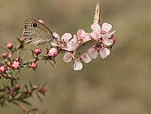 stock photo of dingy  - Australian Dingy Ring or Dusky Knight Ypthima arctous butterfly on native wildflower leptospernum pink cascade flowers