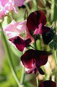 picture of sweetpea  - Red Sweet pea  - JPG