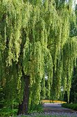 image of weeping willow tree  - Weeping willow tree in the public park - JPG