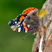 the red admiral (vanessa atalanta)