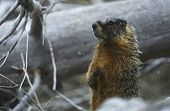 picture of marmot  - Yellow - JPG