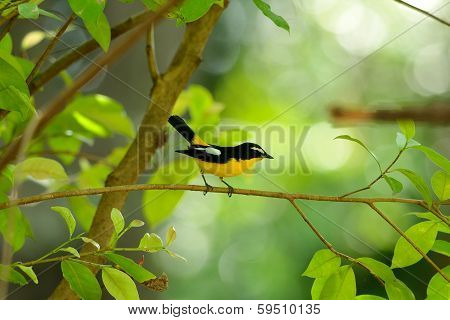 Male Yellow-rumped Flycatcher